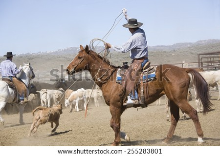 Cowboy roping a calf at a roundup - stock photo