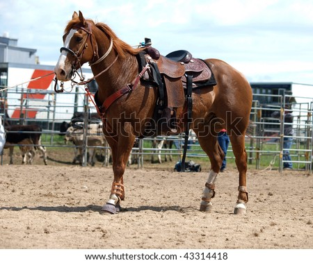 Cowboy's Horse set back to keep the lasso tight - stock photo