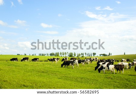 Cows - stock photo