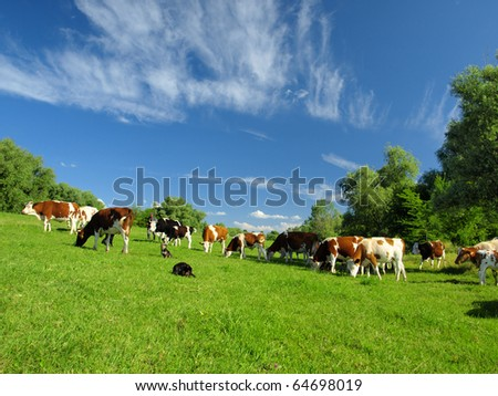 Cows - stock photo