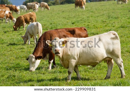 Cows and bulls in pasture - stock photo