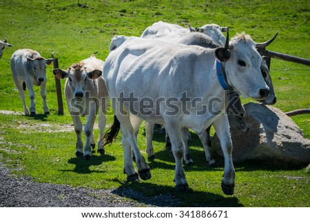 Cows and calves running around the mountains - stock photo