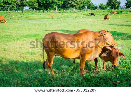 Cows and field of green grass