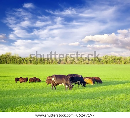 cows and sheeps at the field - stock photo