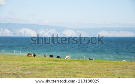 Cows and Yaks grazing in a fenced pasture near Baikal lake island Olkhon on mountain and cloudy summer sky background Empty Copy space for inscription - stock photo