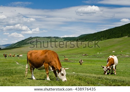 Cows are grazed on a summer meadow in mountains