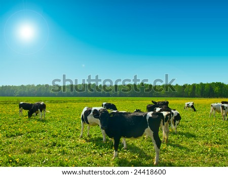 Cows are grazed on meadow