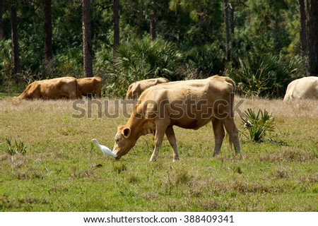Cows are grazing in the field in the afternoon in bonita springs florida with a white heron standing nearby.