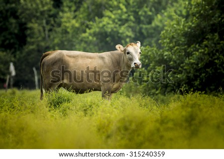 Cows are looking to shoot. - stock photo