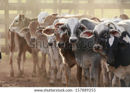 cows at a cattle farm or ranch in brazil