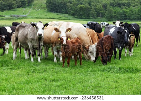 Cows at a pasture in Scotland - stock photo