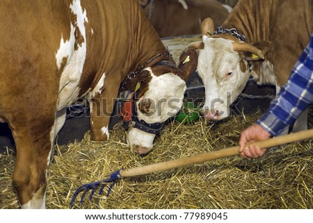 Cows at livestock exhibition, Europe - stock photo