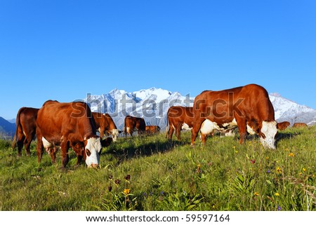 cows at mountain - stock photo