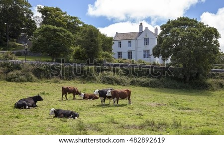 Cows at St David's, Pembrokeshire, Wales, Great Britain
