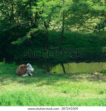 cows at summer green field - stock photo
