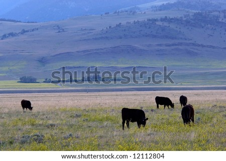 Cows at the meadow in the evening, Montana ranch - stock photo