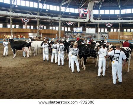Cows at the State Fair - cow presentation , 2003 Des Moines state fair, Iowa - stock photo