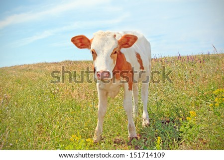 cows baby grazing on a meadow - stock photo