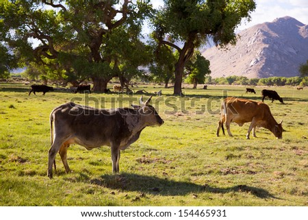 Cows cattle grazing relaxed in California meadows - stock photo