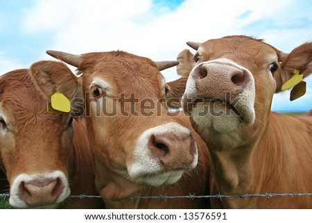Cows clamor to have Photo taken with wide angle lens. Tags cleared for text if needed - stock photo