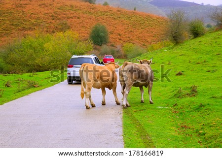 Cows couple in a Pyrenees road of Irati jungle at Navarra Spain - stock photo