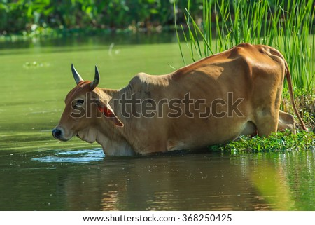 Cows, Cows Thailand, animals