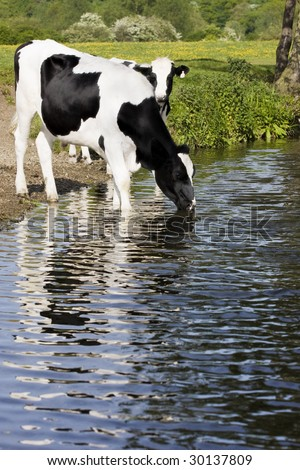 cows drinking from river - stock photo