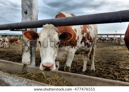 cows eat feed on the farm