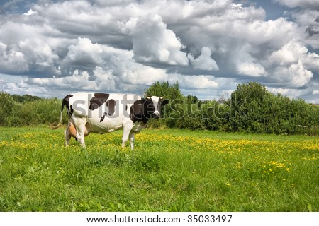 cows eat grass on the field - stock photo