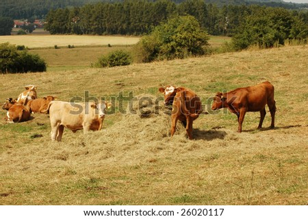 Cows eat hay from haystacks. - stock photo