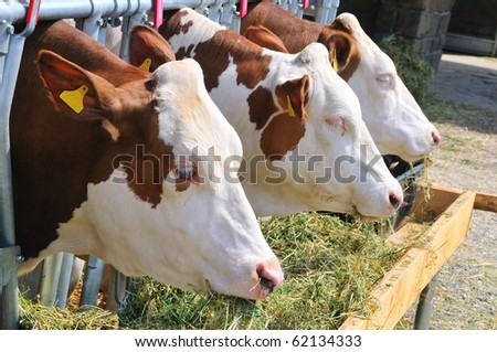 cows eating - stock photo