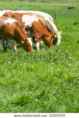 Cows eating grass on a sunny day in spring time. - stock photo