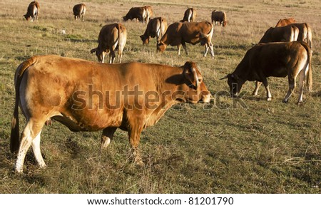 cows eating in a field - stock photo