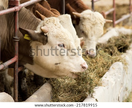 Cows eating lucerne hay from manger on farm  - stock photo