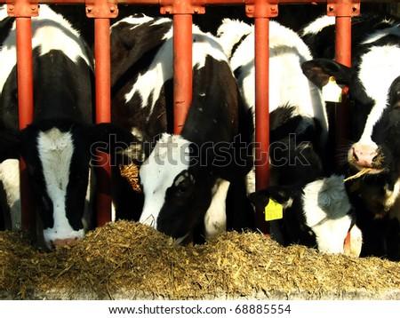 Cows eating powder - stock photo