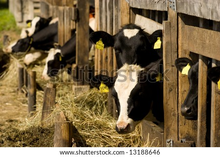 Cows feeding hay in a farm - stock photo