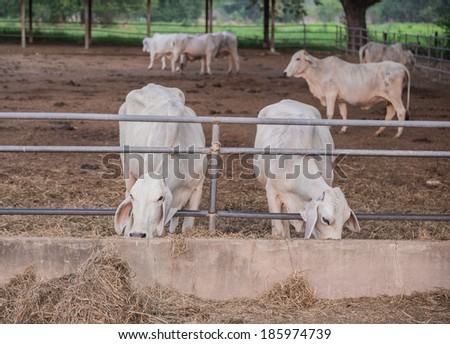 Cows feeding hay in the farm - stock photo