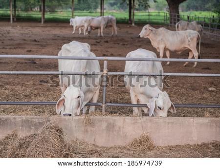 Cows feeding hay in the farm - stock photo