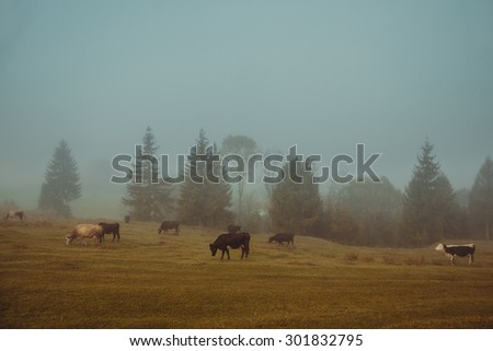 Cows graze in a pasture in the early misty morning - stock photo