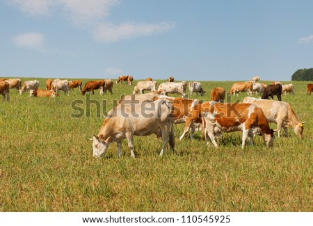 Cows graze in the autumn field - stock photo
