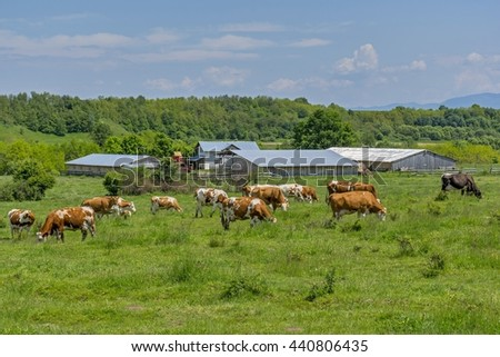 Cows graze in the green meadow near to the farm  - stock photo