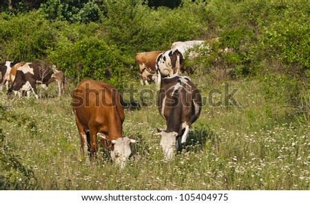 Cows graze in the meadow - stock photo