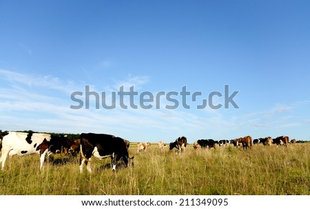 Cows graze in the pasture. - stock photo