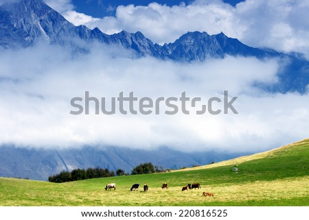 Cows graze on green grass pasture in high mountains - stock photo