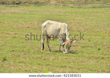 Cows graze the green pastures. - stock photo