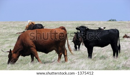 cows grazing - stock photo