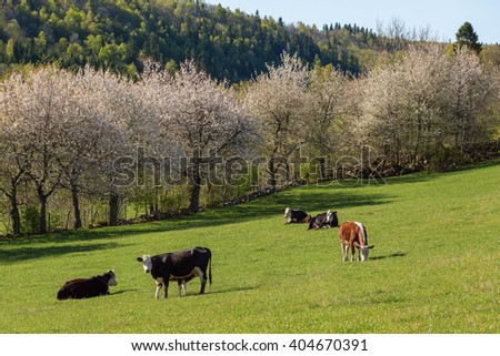 Cows grazing and lying down in the rural countryside spring landscape - stock photo