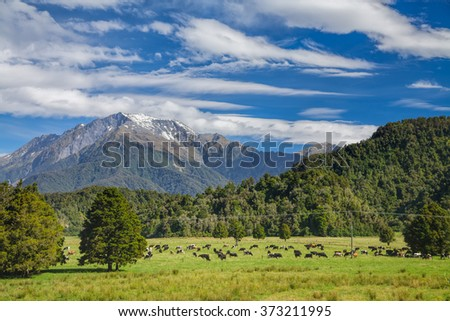 Cows grazing at a pasture in New Zealand - stock photo