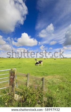 cows grazing in a fresh green field - stock photo