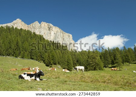 Cows grazing in a green meadow with pine trees an rock wall in the background with white clouds and blue sky - stock photo